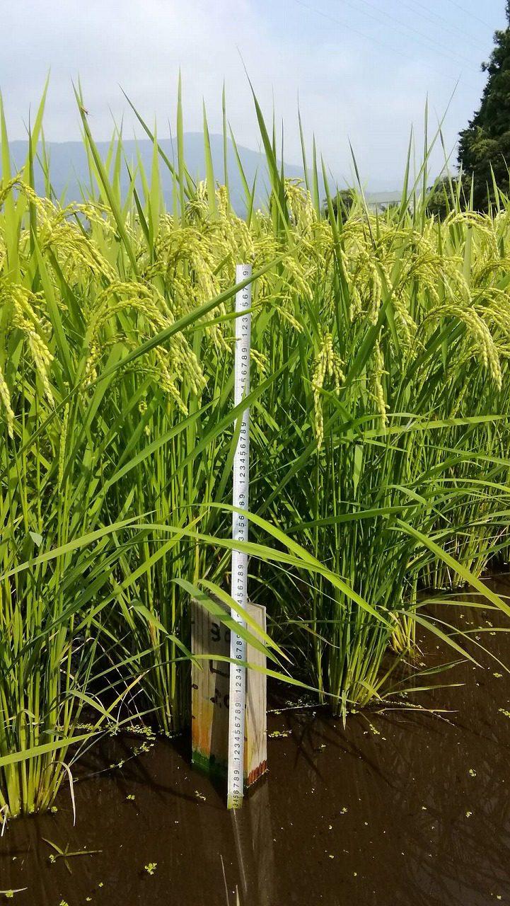 減農薬栽培エソラ米